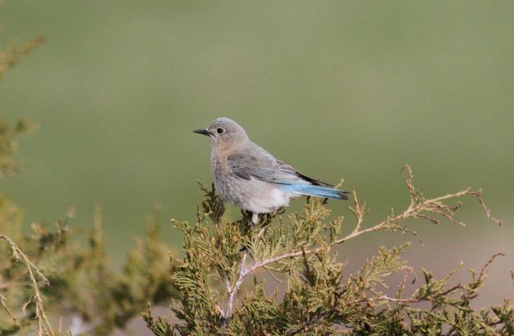 Mountain Bluebird khfg3