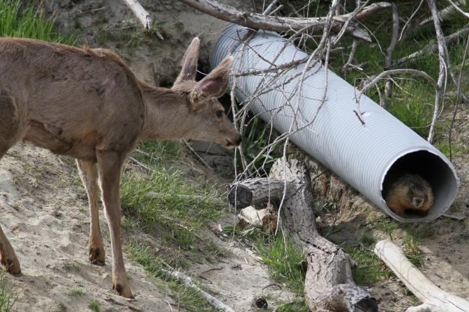 Mule Deer and Yellow-bellied Marmot gh4g.JPG