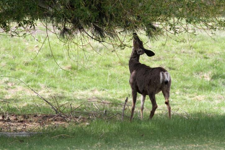 Mule Deer hhj4.JPG