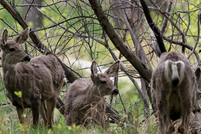 Mule Deer hkh4.JPG