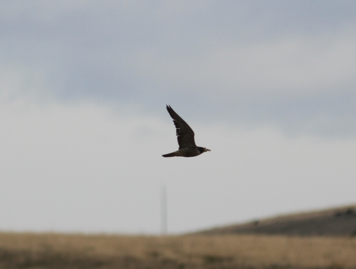 Peregrine Falcon hgh3