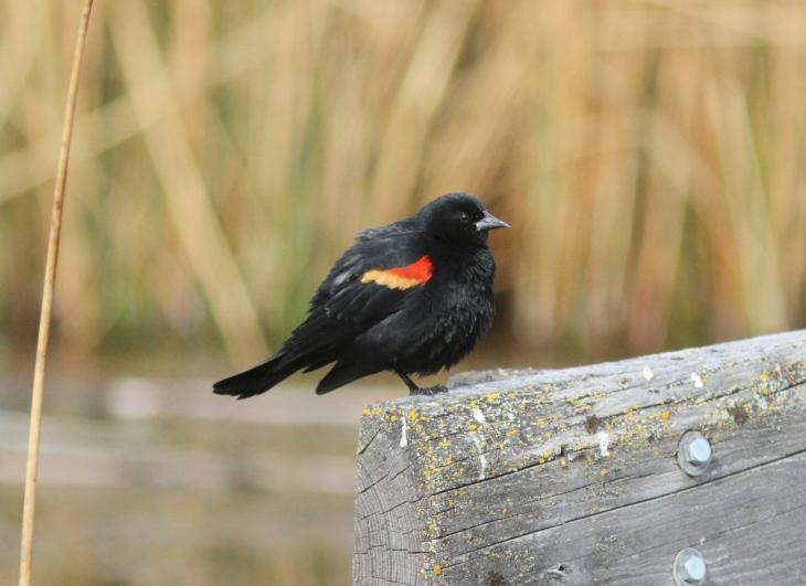 Red-winged Blackbird ghggh3.JPG