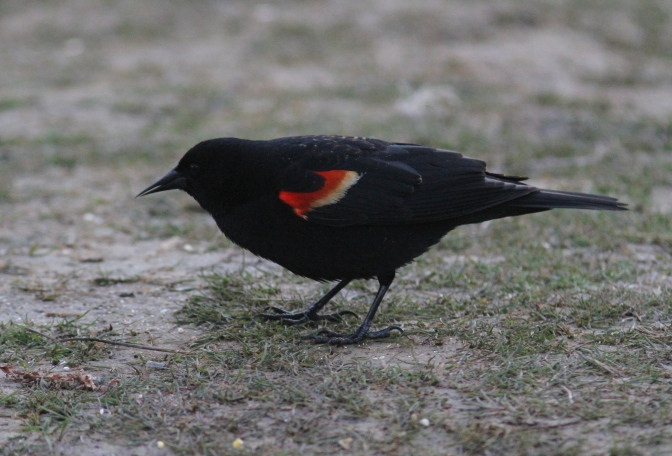 Red-winged Blackbird iyi3.JPG