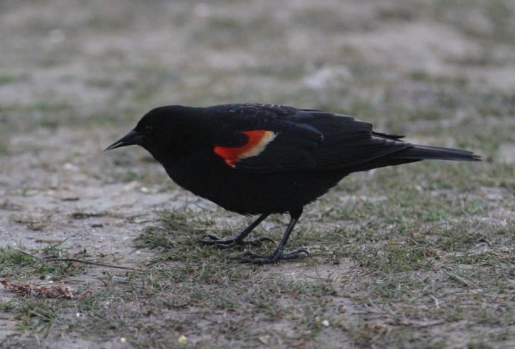 Red-winged Blackbird iyi3.JPG