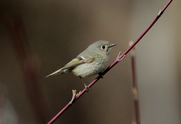 Ruby-crowned Kinglet hgfggj3