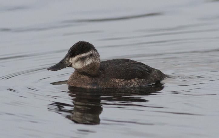 Ruddy Duck 0903