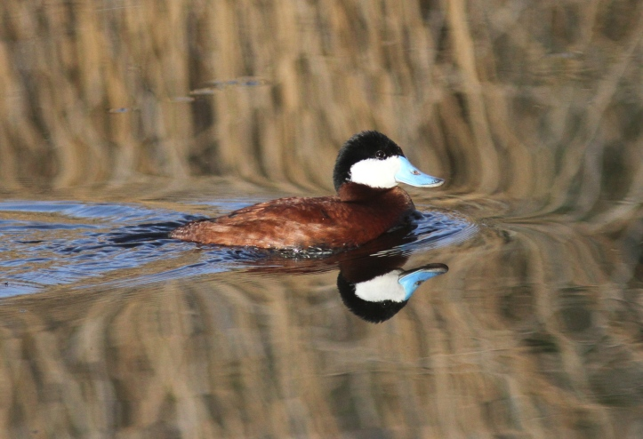 Ruddy Duck kjk33.JPG