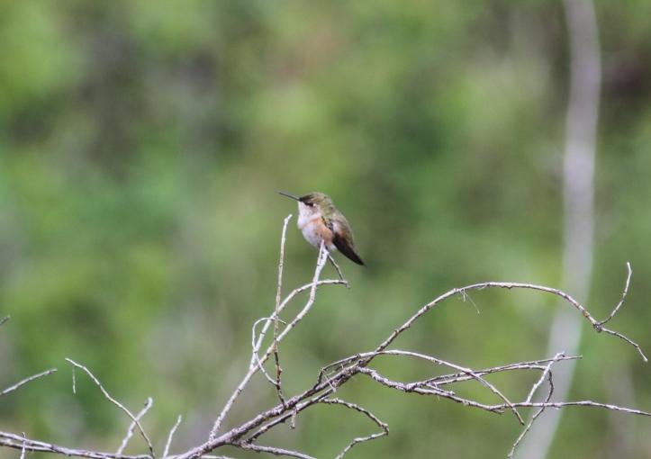 Rufous Hummingbird hkkhk3.JPG