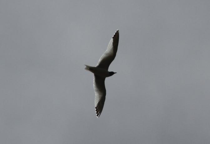 Sabine's Gull hhk3