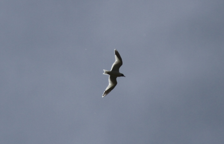 Sabine's gull ljhk4