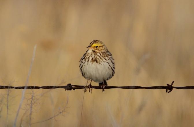 Savannah Sparrow hug3