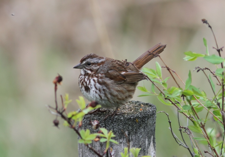 Song Sparrow khghj3.JPG