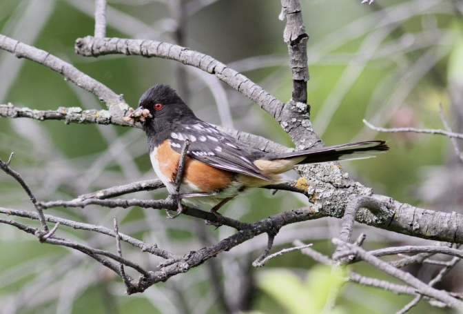 Spotted Towhee hkhg3f.JPG