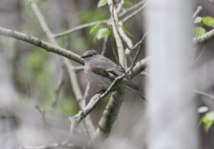 Townsend's Solitaire hgj3.JPG