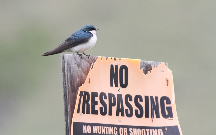 Tree Swallow khgjg3.JPG