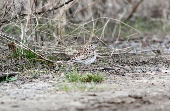 Vesper Sparrow hhj3.JPG