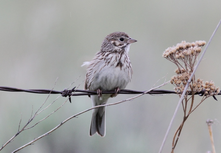 Vesper Sparrow kkkh3.JPG