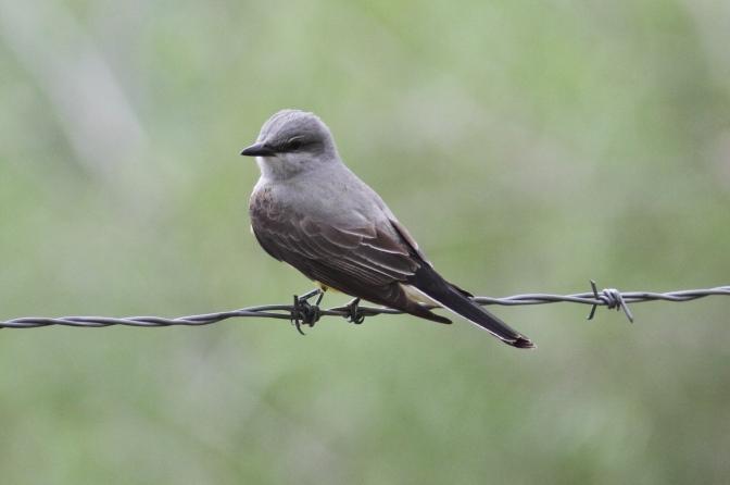 Western Kingbird ljgkhg3.JPG