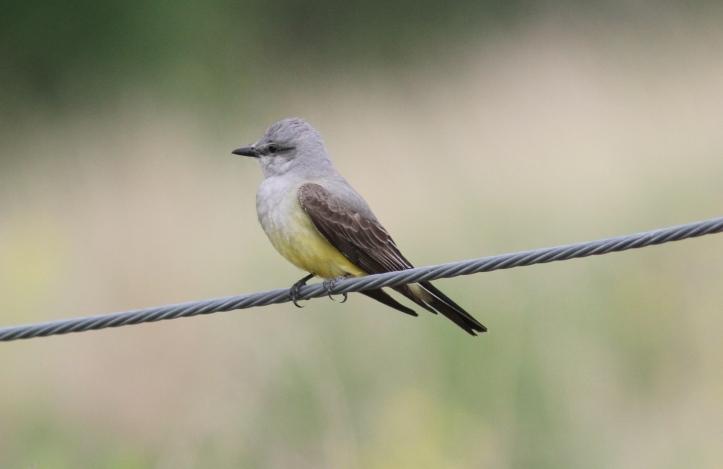 Western Kingbird lll3.JPG