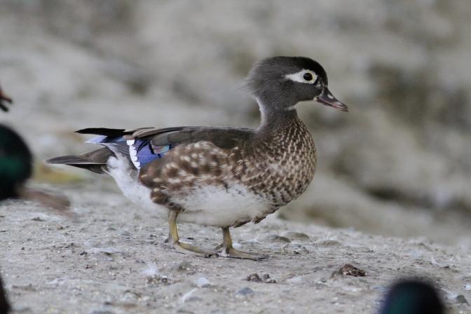Wood Duck 91 (3).JPG