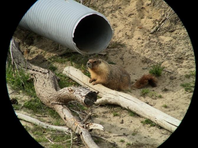 Yellow-bellied Marmot hhg3