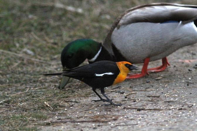 Yellow-headed Balckbird gfuj3.JPG