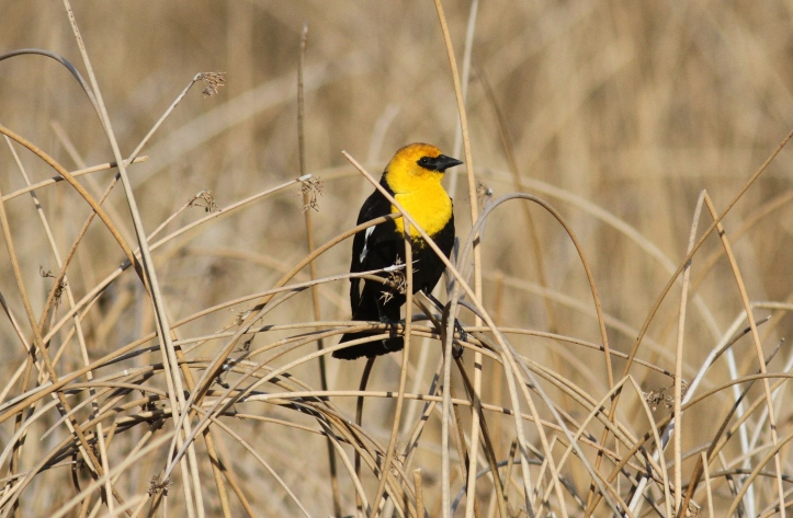 Yellow-headed Blackbird gjg3.JPG