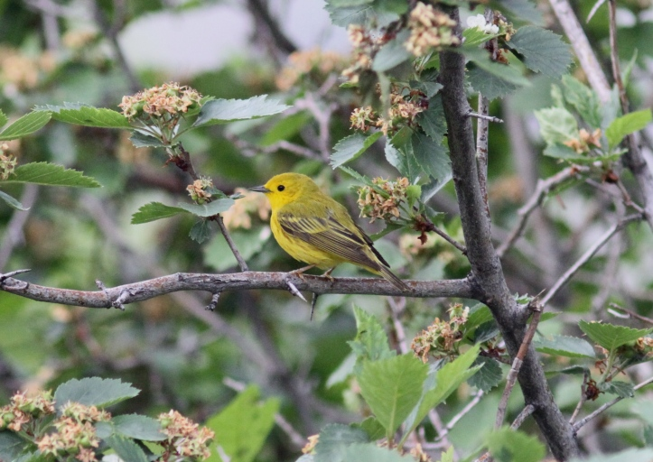 Yellow Warbler jhk3.JPG
