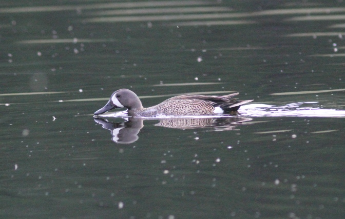 Blue-winged Teal khgj3.JPG