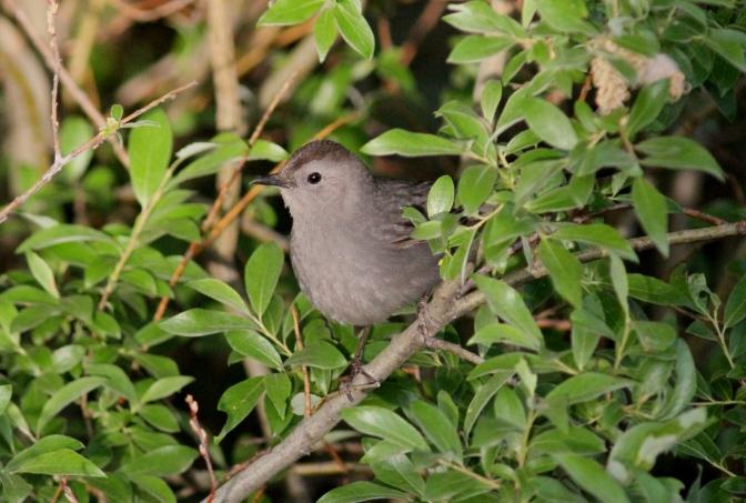 Gray Catbird hkgjh3;.JPG