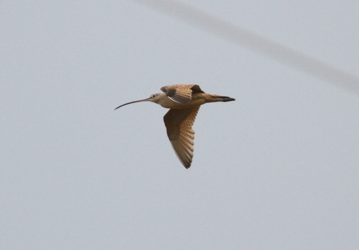 Long-billed Curlew hgh3.JPG