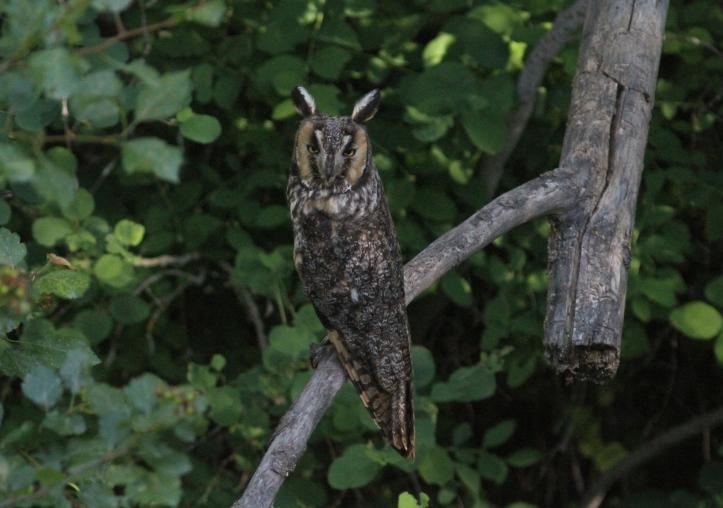 Long-eared Owl hghg3.JPG