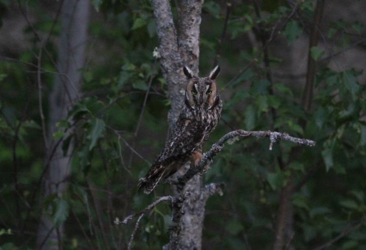 Long-eared Owl hghgh3.JPG