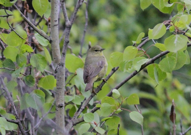 Orange-crowned Warbler hhk3