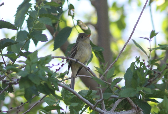 Pacific Slope Flycatcher llj3.JPG