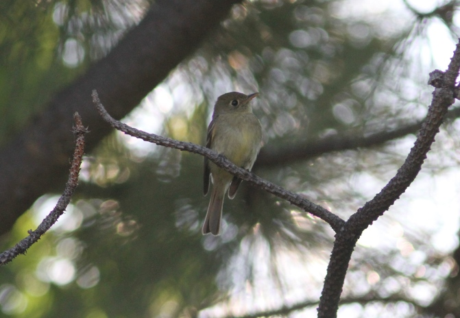 Pacific Slope Flycatcher lljl3