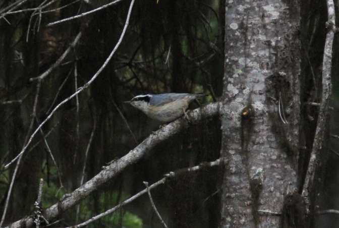 Red-breasted Nuthatch ghjhk3