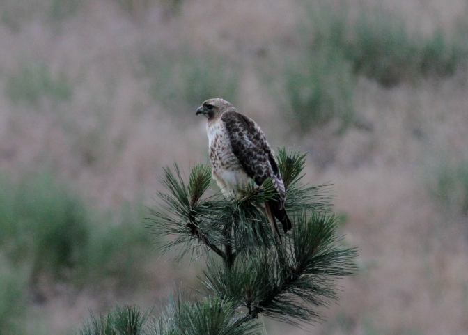 Red-tailed Hawk ljhk3.JPG