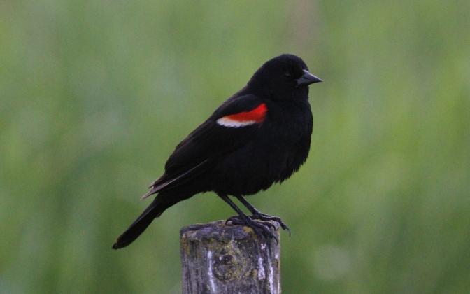 Red-winged Blackbird hhgk3.JPG