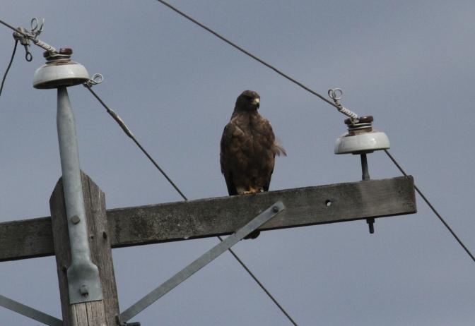 Swainson's Hawk khkhgh3.JPG