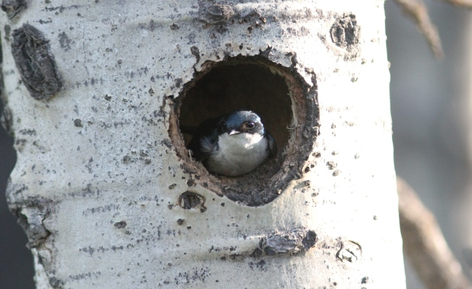Tree Swallow fgf3