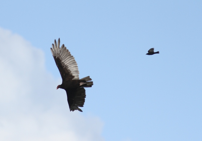 Turkey Vulture jkhgh3