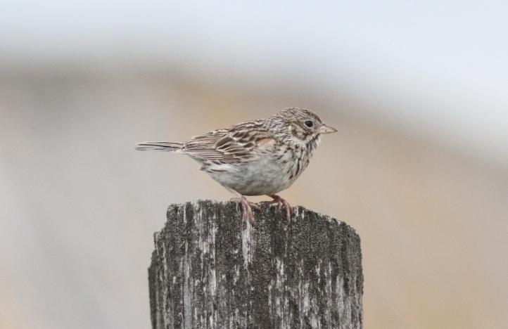 Vesper Sparrow jhgh3.JPG
