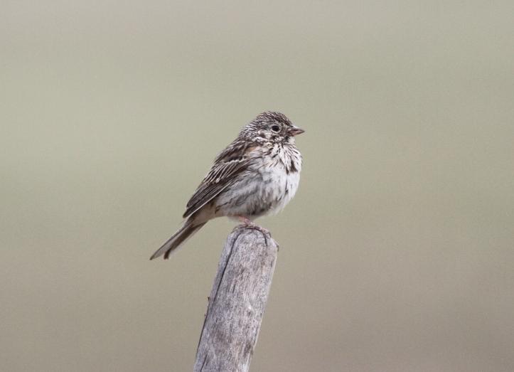 Vesper Sparrow nghj3.JPG