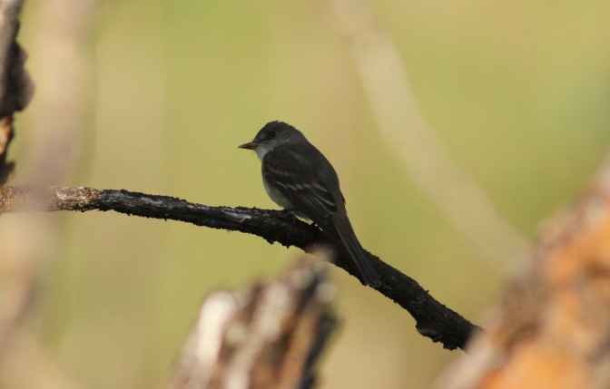 Willow Flycatcher kkhgkk3.JPG