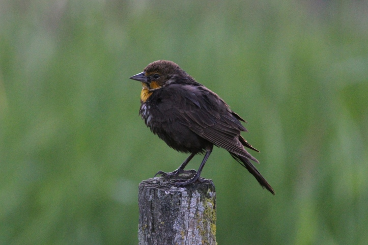 Yellow-headed Blackbird jkh4.JPG
