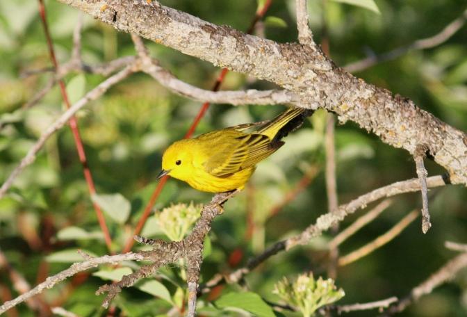 Yellow Warbler hgklk3.JPG