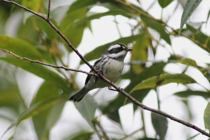 Black-throated Gray Warbler hhkhgk3.JPG