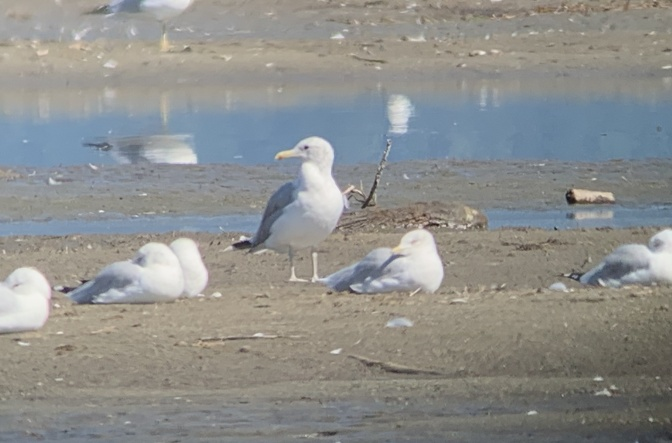 California Gull hhgj3