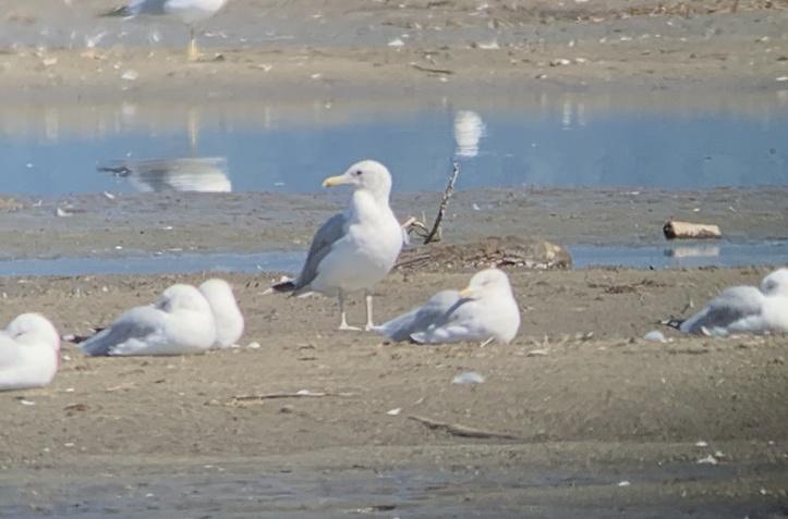 California Gull hhgj3